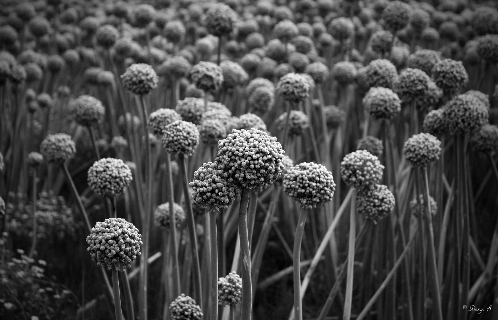 les oignons en fleurs