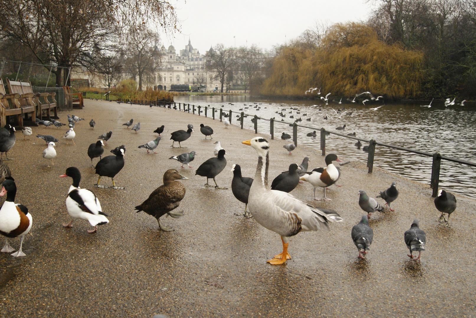 les oiseaux de Saint James Park, Londres