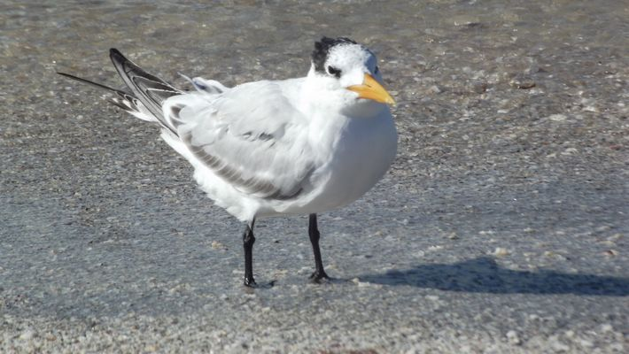 les oiseaux de Sanibel