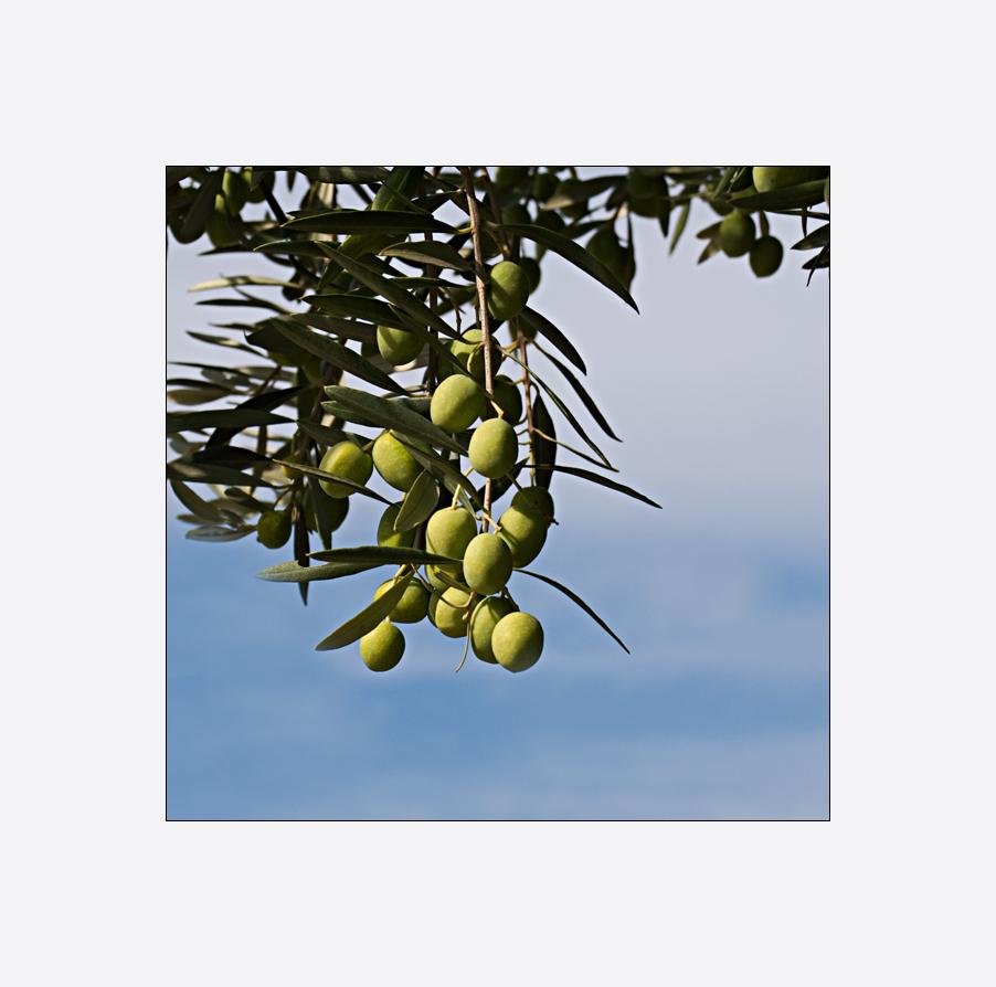 Les olives vertes