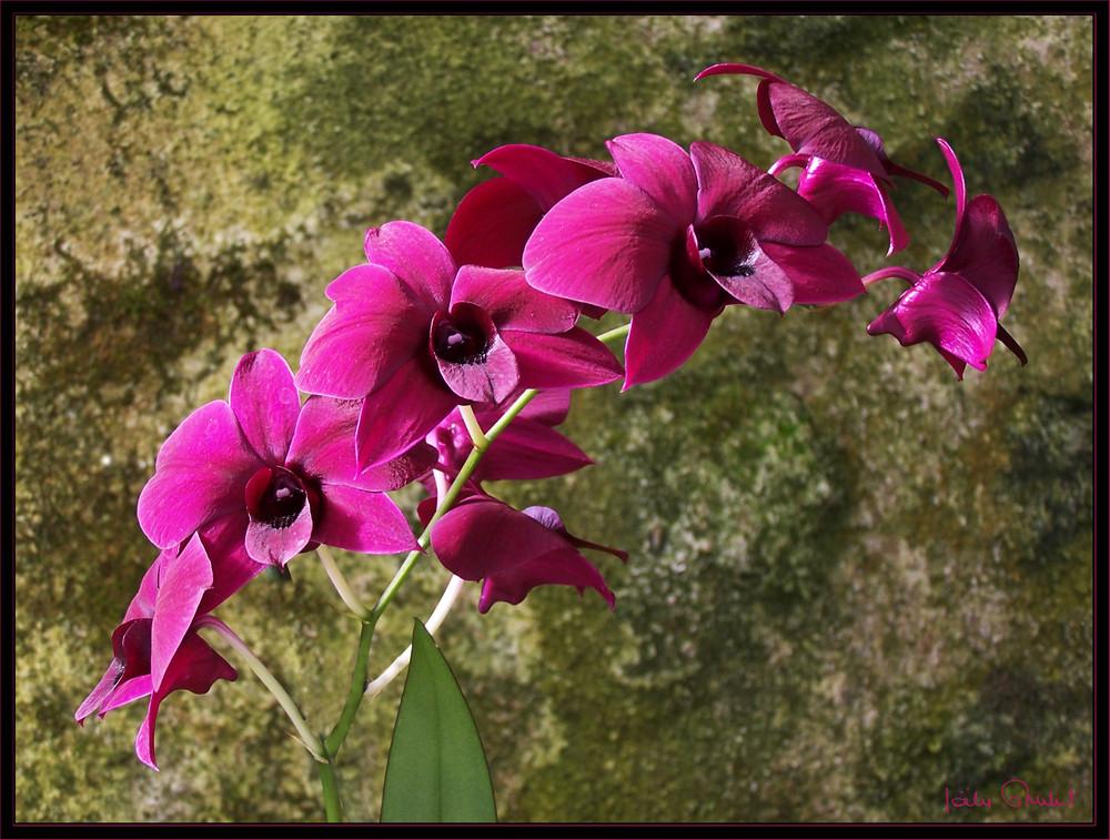 """""""Les orchidées Marcel Lecoufle"""""""