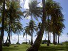 les palmiers de Marie Galante