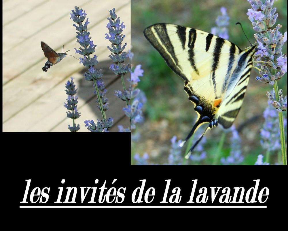 les papillons de lavande
