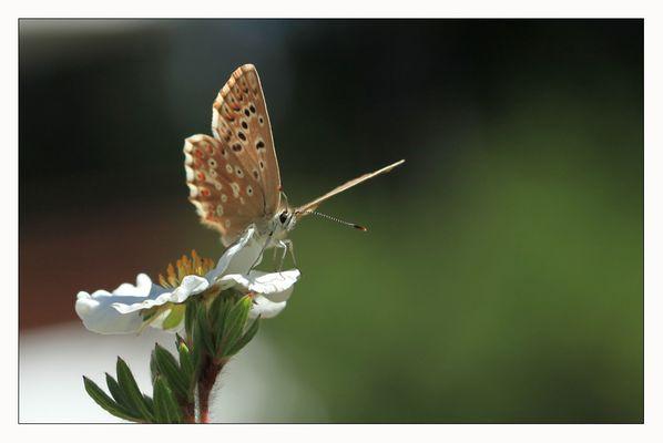 les papillons ne sont que des fleurs ...