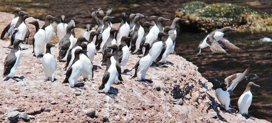Les petits pingoins volants
