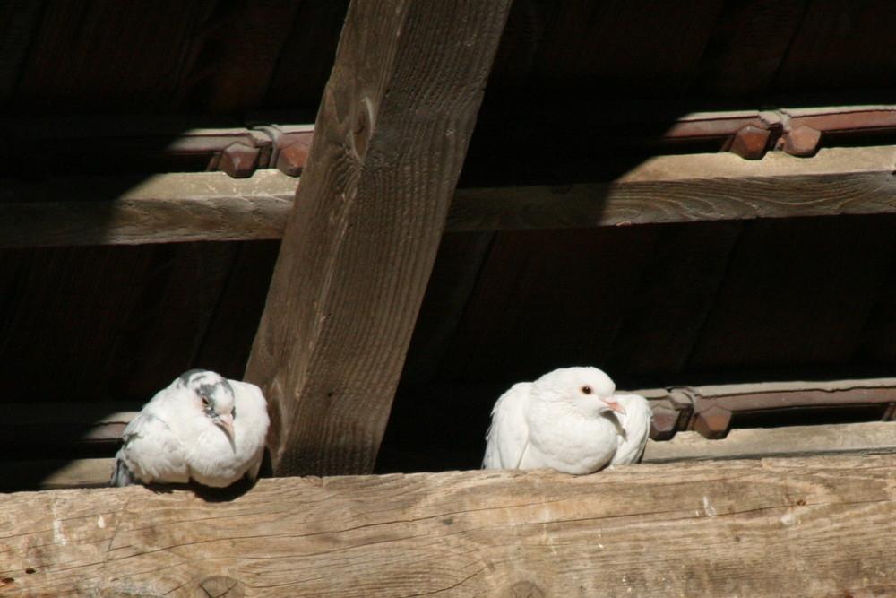 Les pigeons d'Alphonse