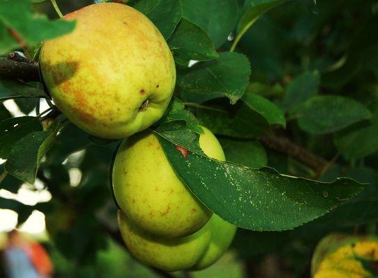 les pommes du péché