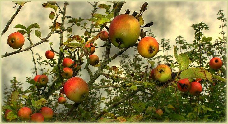 Les pommes mûrissaient