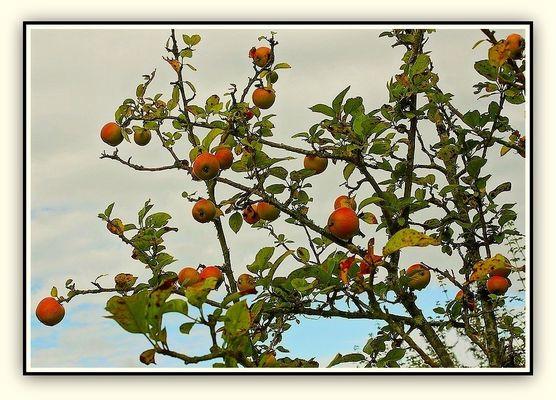 Les pommes rougissent en leur jardin