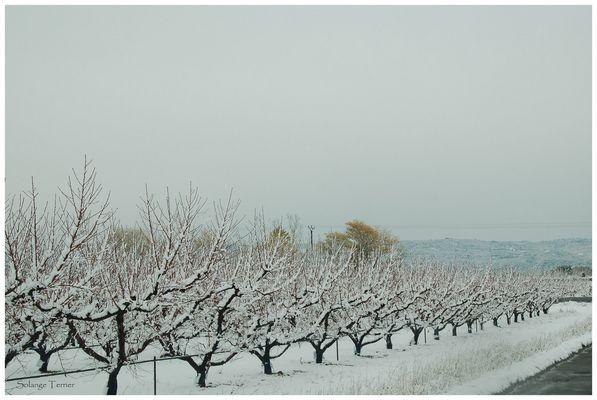 les pommiers sous la neige
