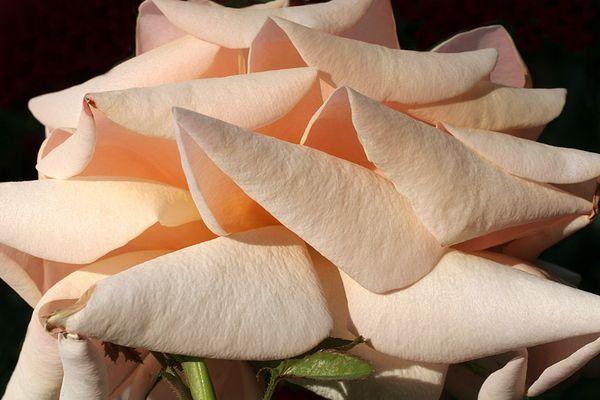 Les poupières de la rose
