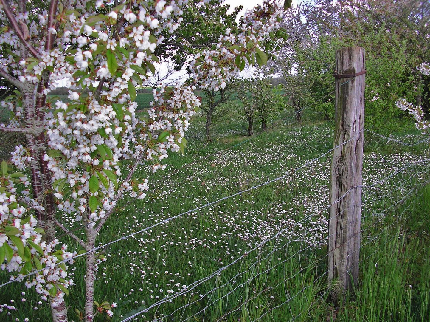 les pâquerettes et le cerisier blancheur nature