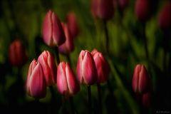 Les premières tulipes