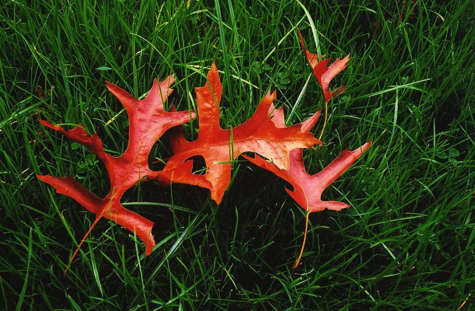 Les quatre feuilles rouges