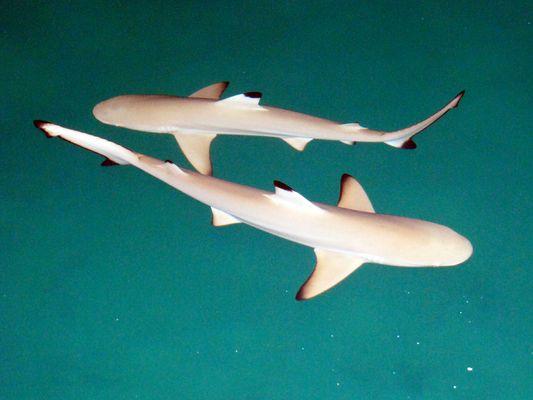 Les requins des Maldives dans l'océan.