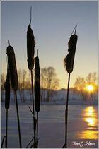 Les roseaux dans le froid - Lac de Michelbach