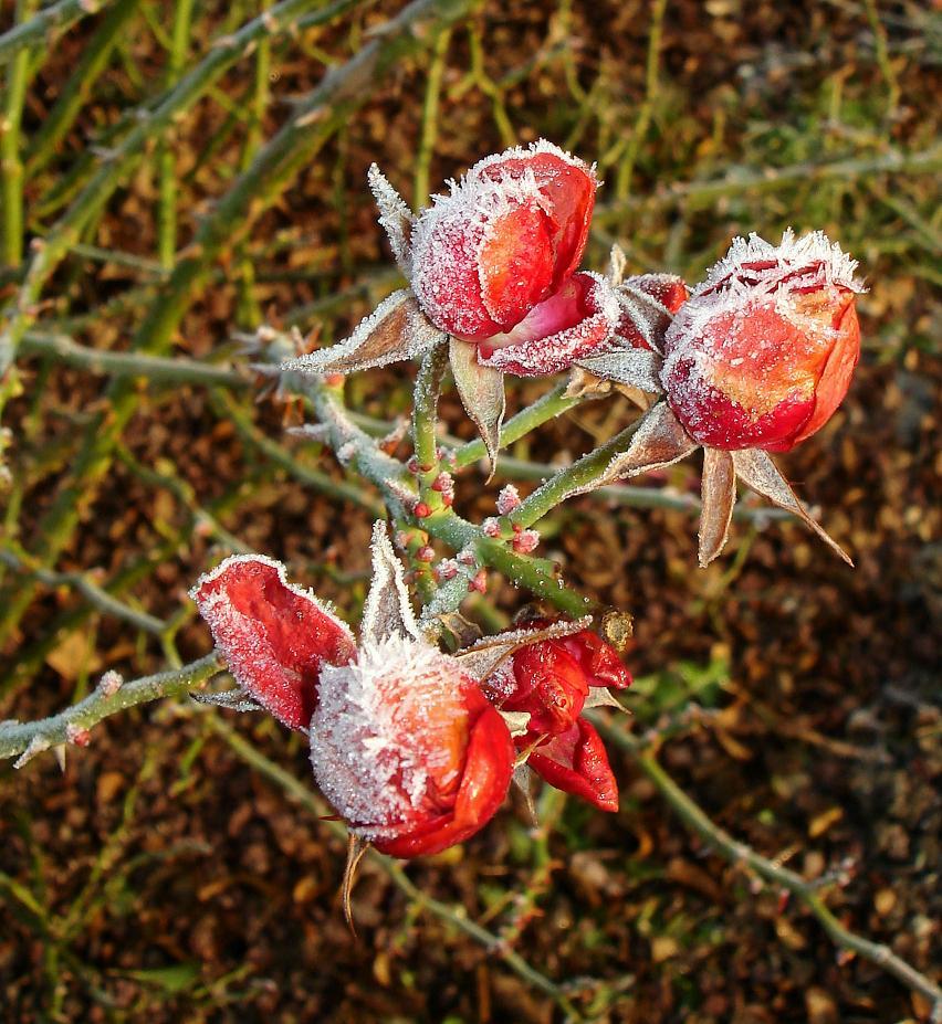 Les roses de l'hiver