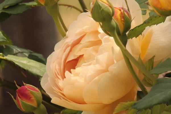 Les roses de ma mère.