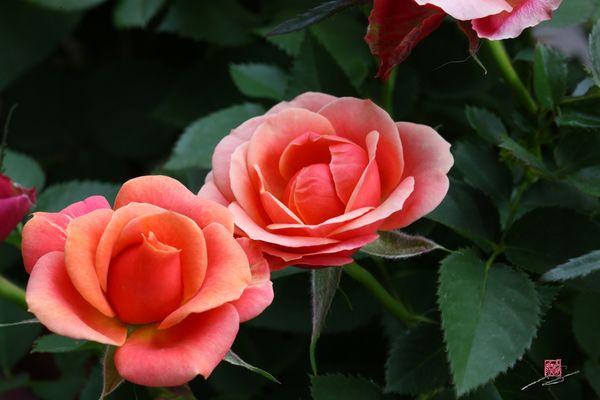 Les roses du balcon de Bao...
