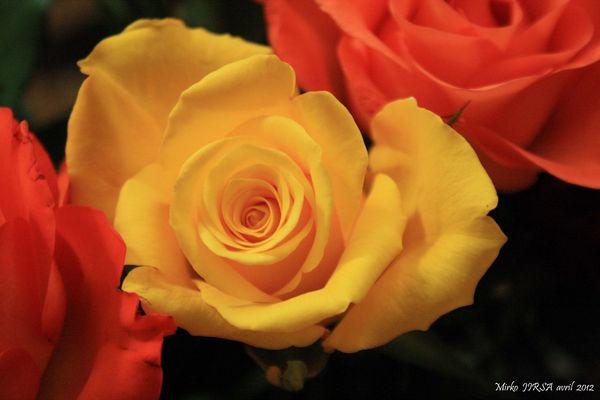 Les roses du salon