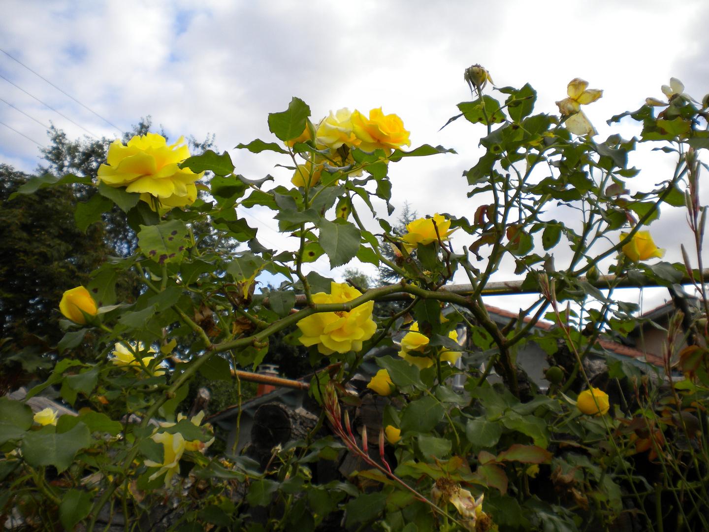 les roses jaunes