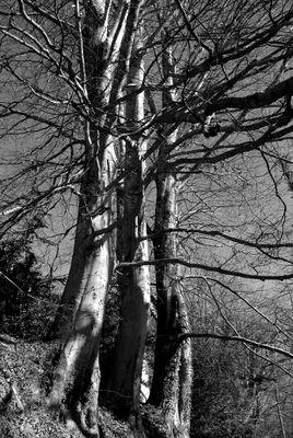 Les trois troncs