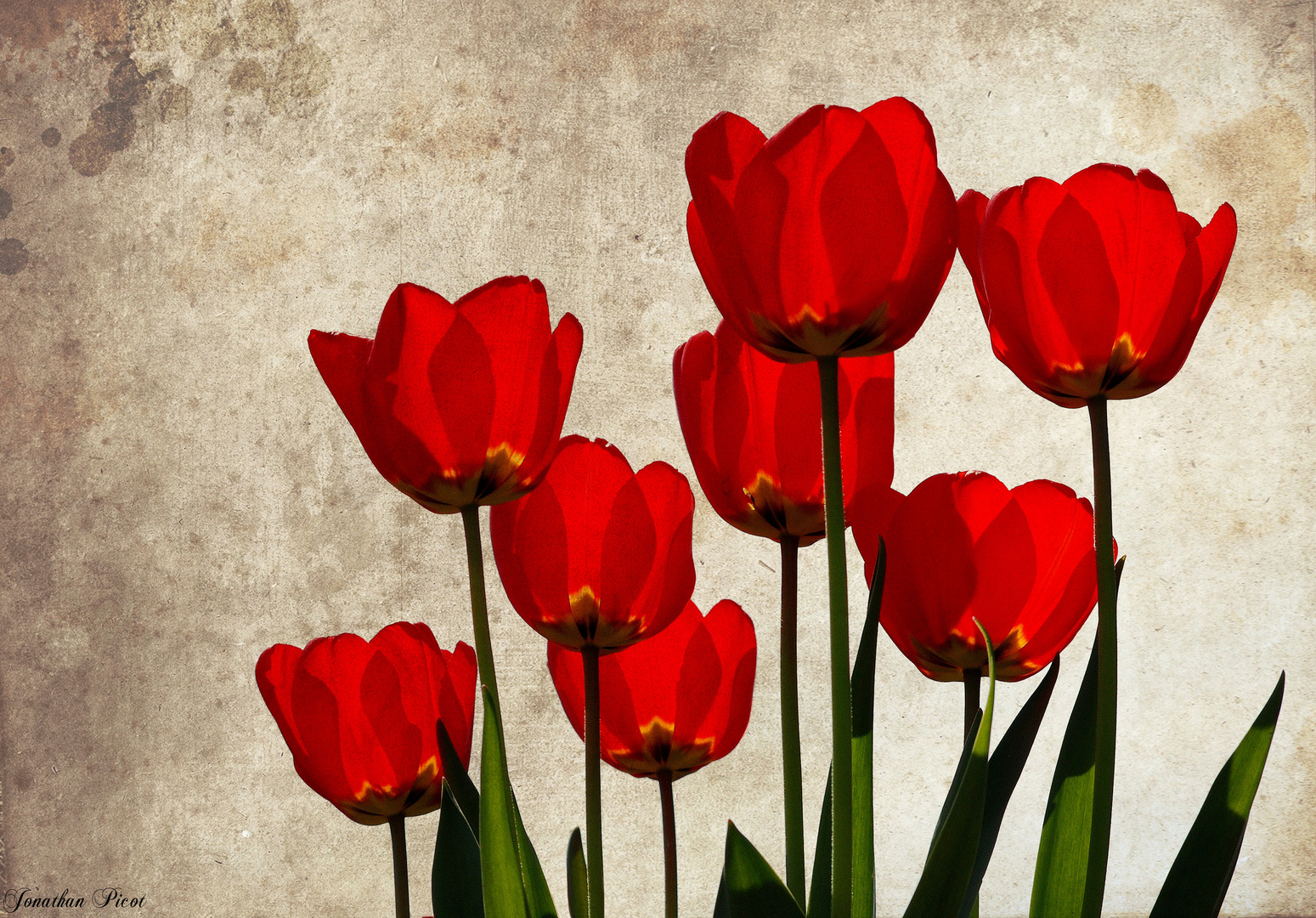 ...Les tulipes...
