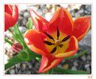 Les Tulipes de mon Jardin