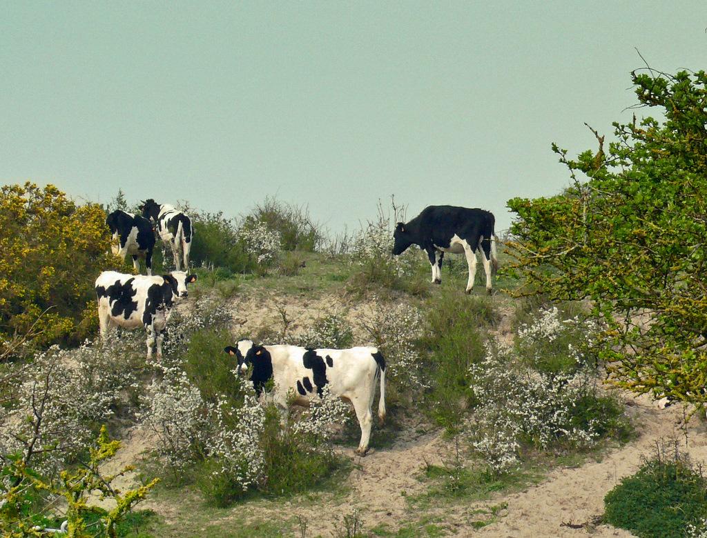 Les vaches du bord de mer