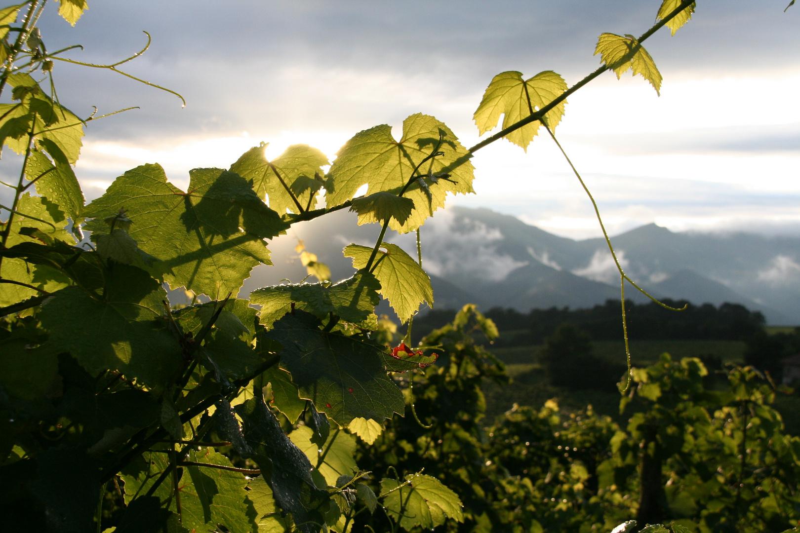 les vignes d' Irouleguy (pays basque)