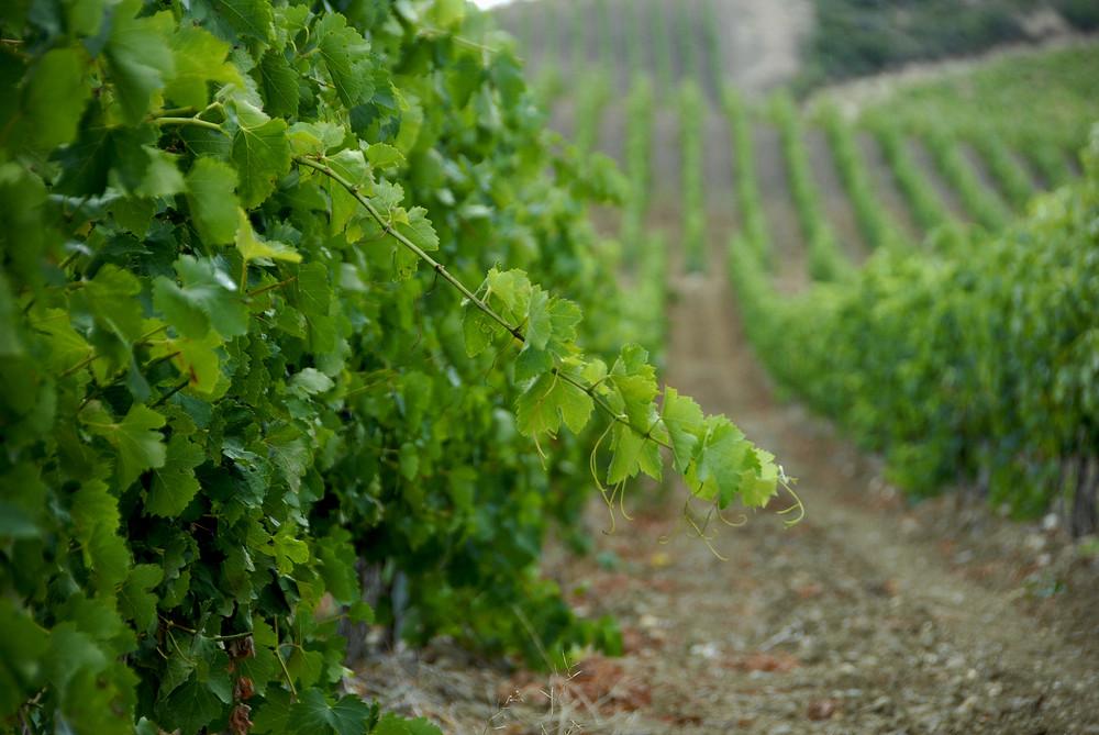 Les vignes dans l'Hérault.