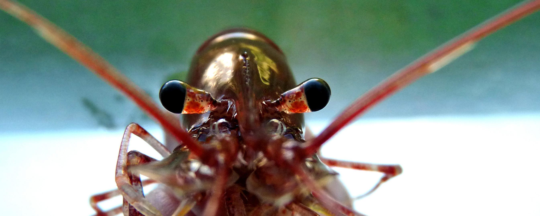 Les yeux de la crevette.