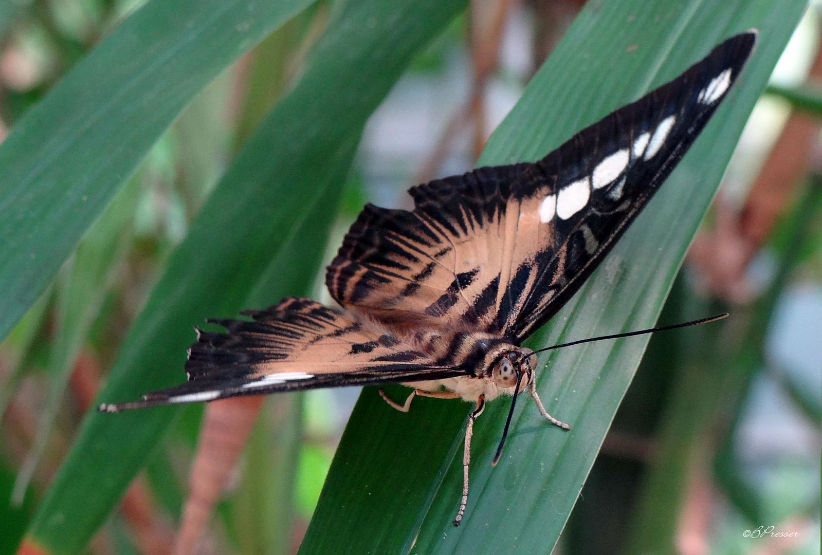 les yeux du papillon