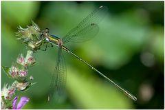 Leste viridis