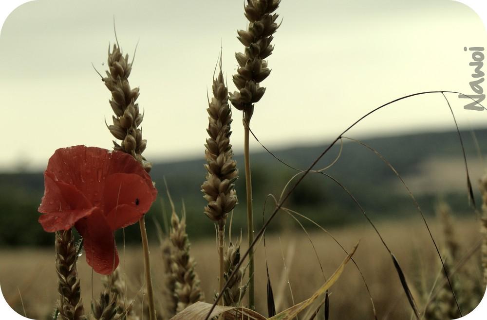 L'été dans les blés