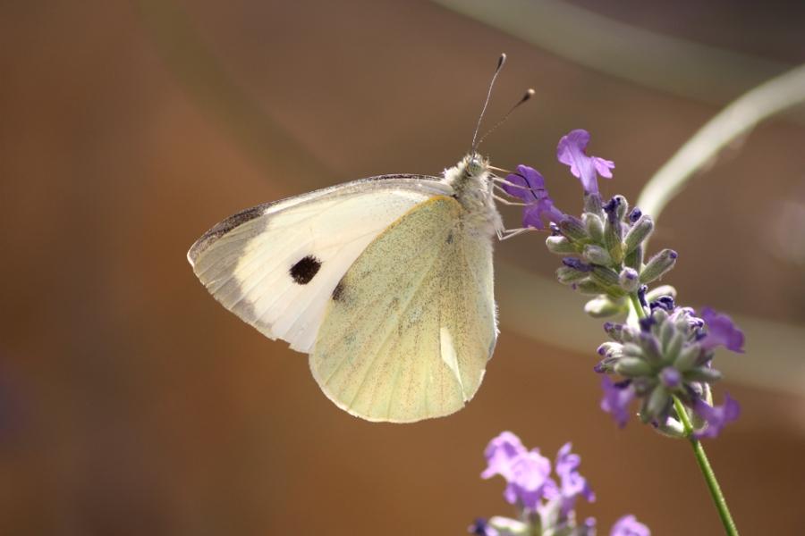 L'été papillonne