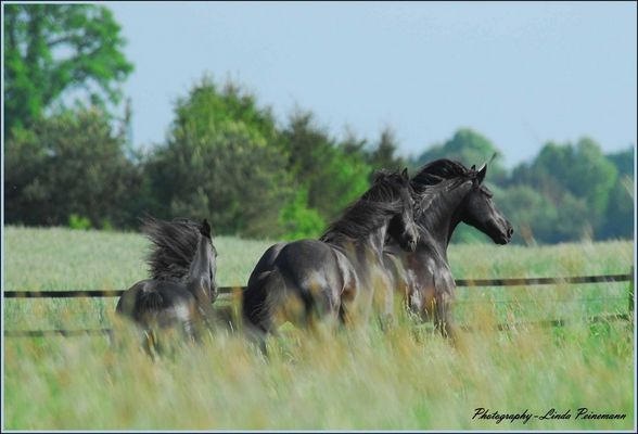 Let´s go.................Having fun with a herd of Friesian Horses
