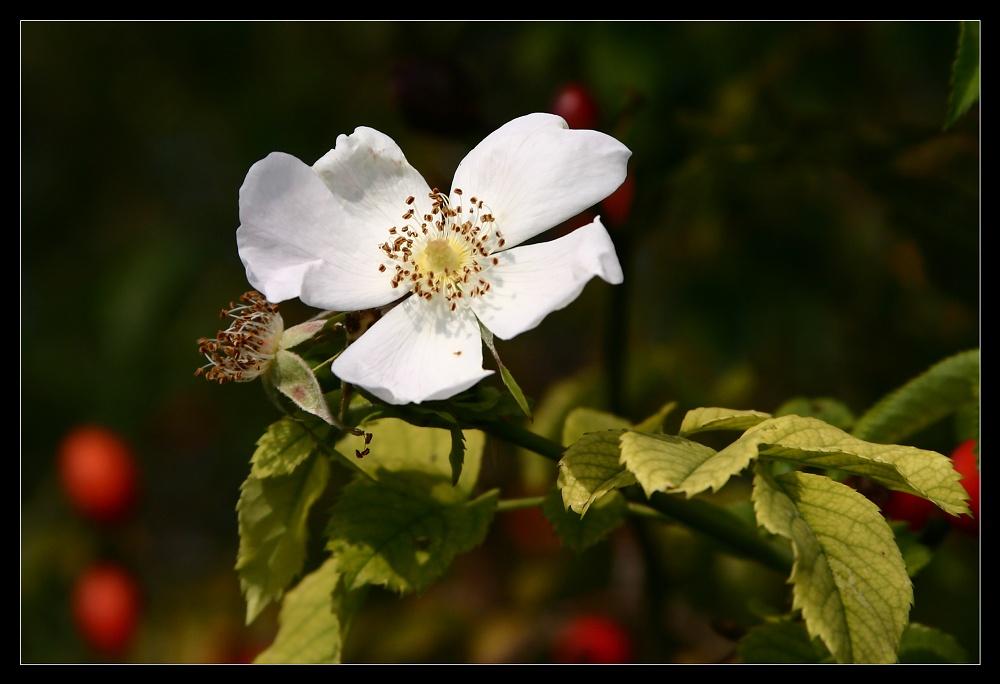 letzte Blüte , wilder Hagebuttenstrauch im Herbst