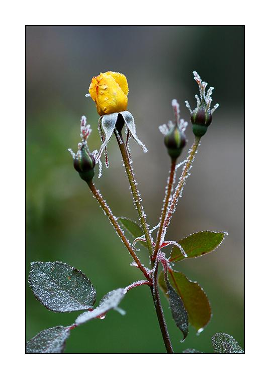... letzte Blüten ...