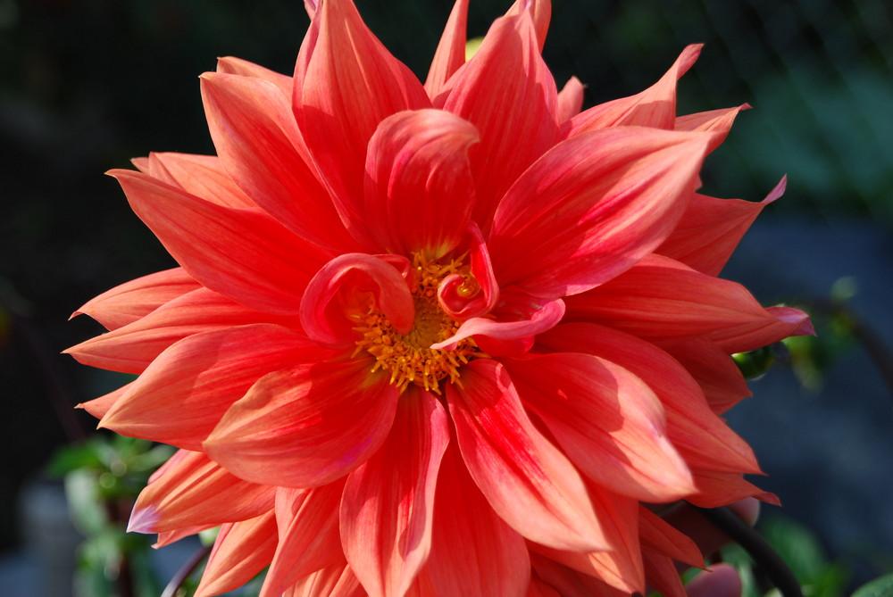 ...letzte Dahlienblüte....