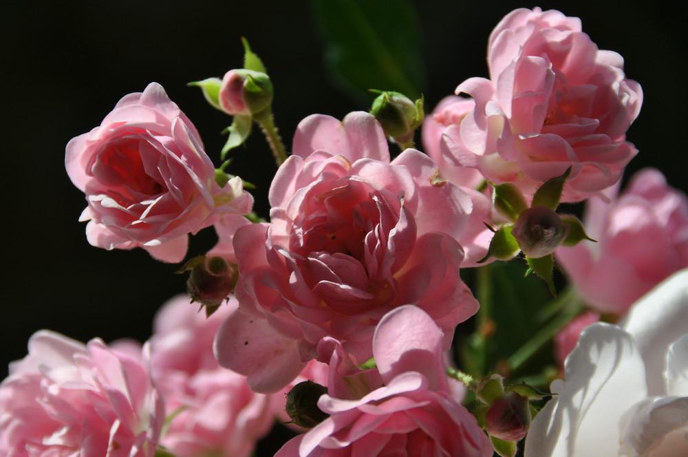 Letzte Rose in meinem Garten....