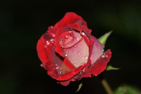 Letzte Rose in meinem Garten