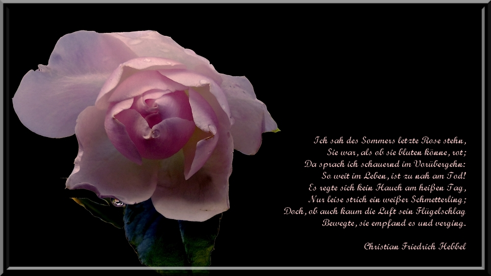 letzte Rosen...
