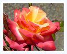 letzte Sommer-Rose