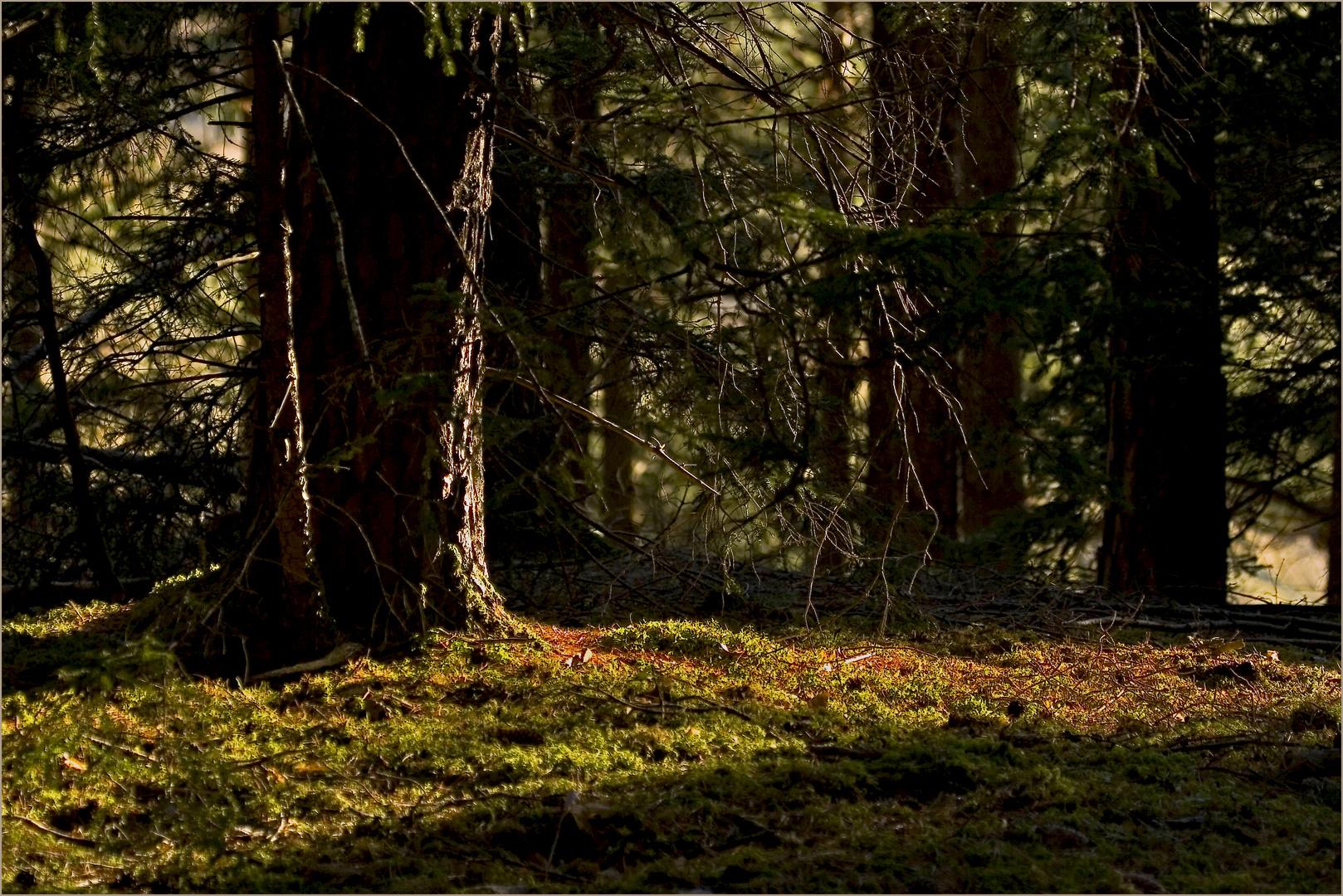 letzte Sonne im Wald