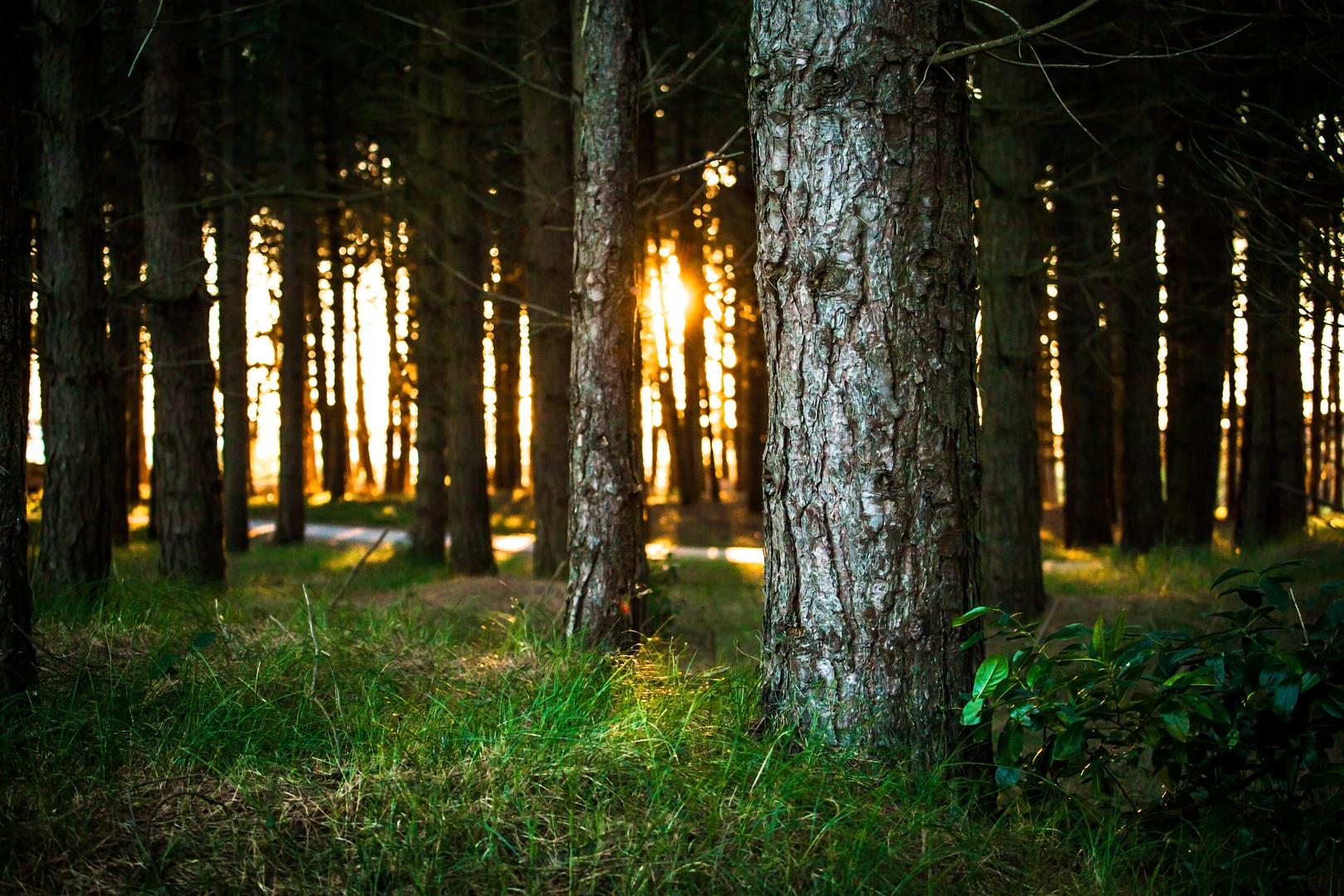 Letzte Sonnenstrahlen im Kiefernwald