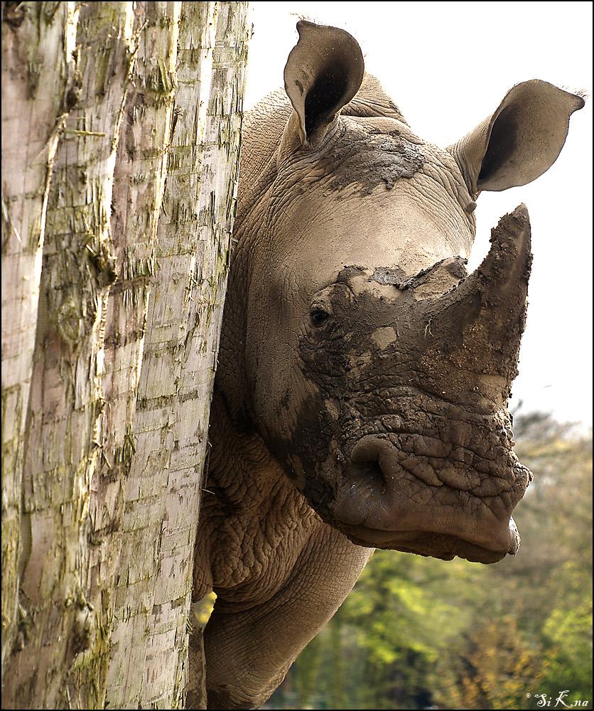 letztes Rhino ...