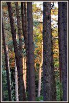 letztes Sonnenlicht im Kiefernwald
