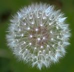 Leucht-Pusteblume