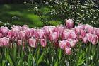 Leucht-Tulpen
